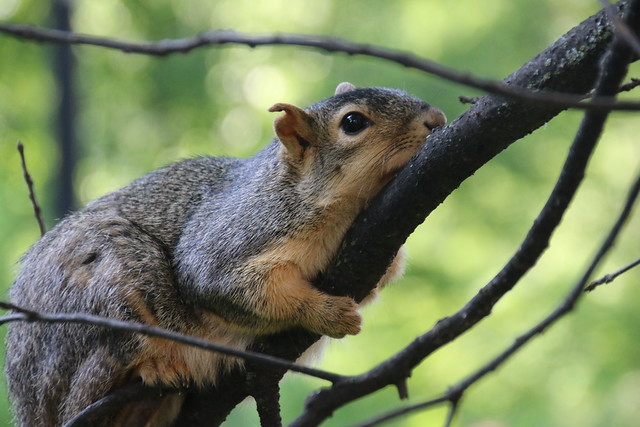 2/365/3289 (June 13, 2017) - Squirrels on a Hot Day in Ann Arbor at the University of Michigan (June 12th and 13th, 2017)
