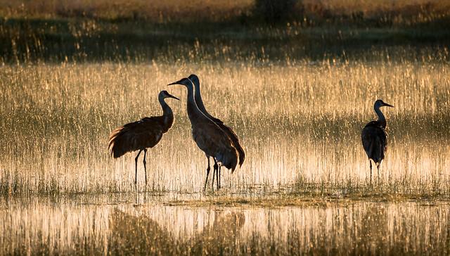 Sandhill Cranes - Explore