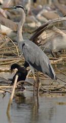 Grey Heron and Little Cormorant