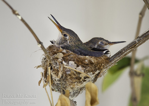 bird hummingbird nest nesting annashummingbird hummingbirdnest california spring chicks babies juvenile