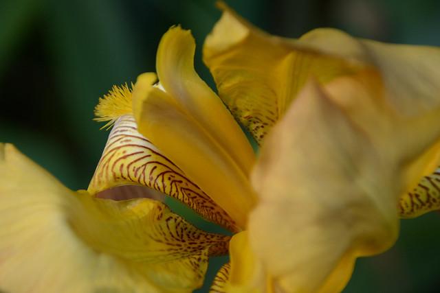 Iris 'Esclarmonde' - Ferdinand Cayeux 1947 34828617206_171b8db7a2_z
