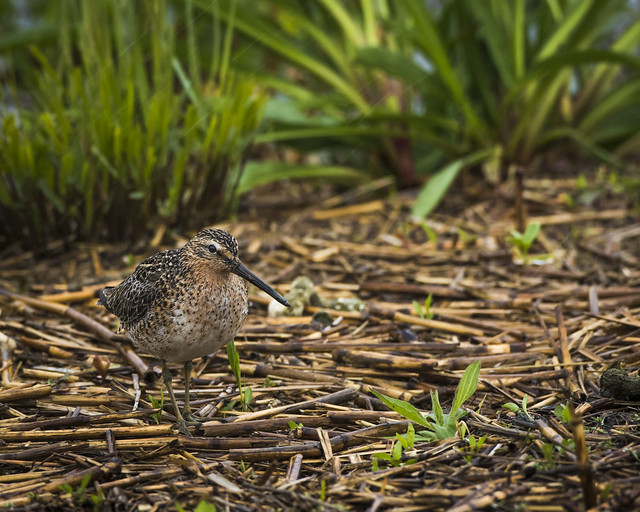 Short-billed Dowitcher, Canon EOS 7D MARK II, Canon EF 500mm f/4L IS