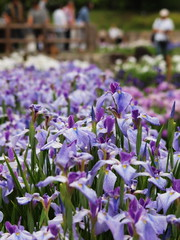Iris garden and visitors