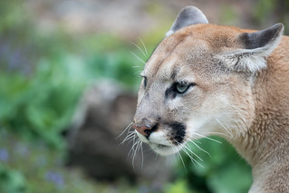 Cougar Closeup Profile