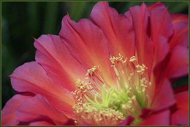 Cactus Flower~  in Explore, Canon EOS 7D, Tamron SP 70-300mm f/4.0-5.6 Di VC USD