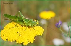 Great green bush cricket / Grande sauterelle verte.