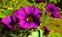 Calibrachoa 'Callie Purple'