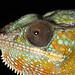 Chameleon 1 by Finding Chris