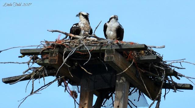 Young Osprey parents...Explored Thank, Nikon D5200, AF-S VR Zoom-Nikkor 70-300mm f/4.5-5.6G IF-ED