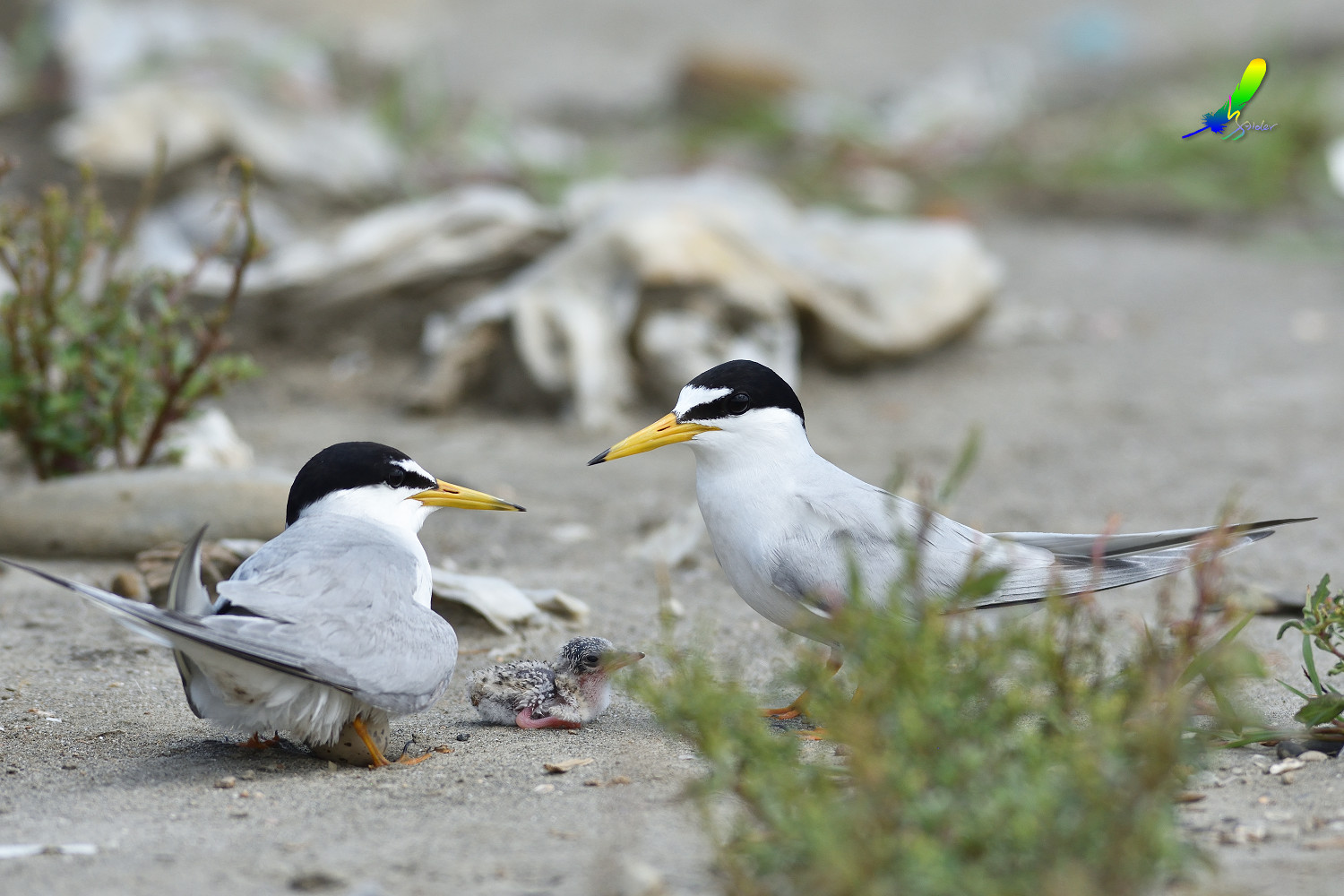 Little_Tern_8640