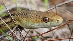 Yellow Rat Snake, Cypress Creek Preserve