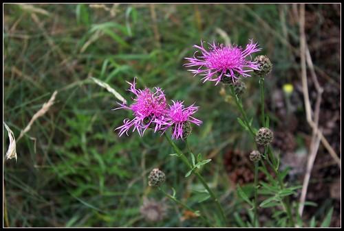Centaurea scabiosa - centaurée scabieuse 35600083095_c45789f470