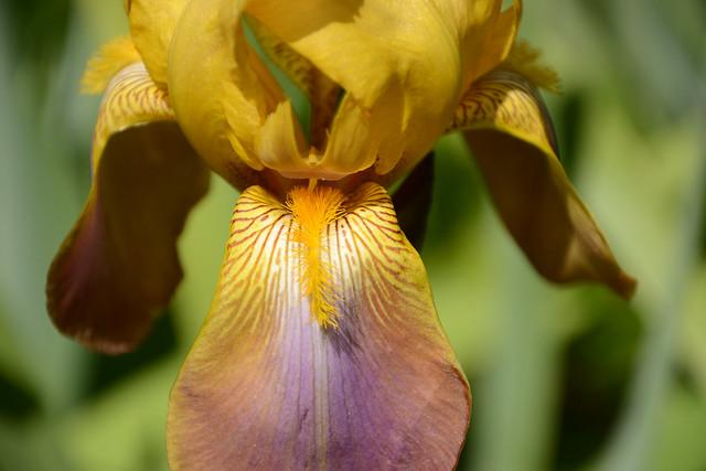Iris 'Esclarmonde' - Ferdinand Cayeux 1947 34058551773_722ddae87f_z