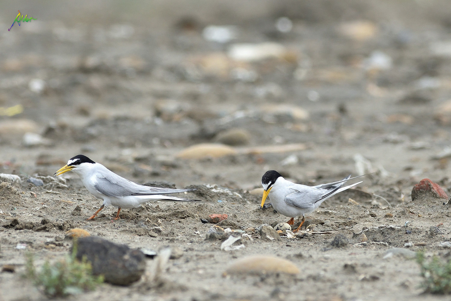Little_Tern_2009