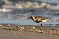 Black bellied plover, Ocracoke, NC