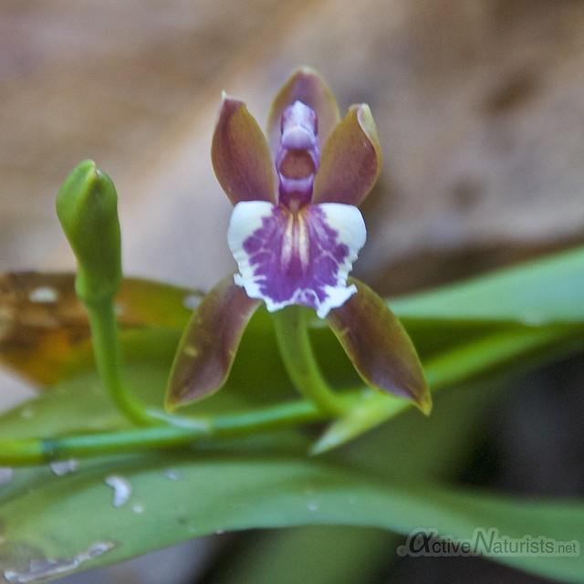 orchid 0001 Corcovado, Osa peninsula, Costa Rica
