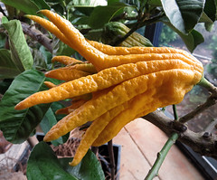 Buddha's Hands, the original citrus plant, Portland, Oregon