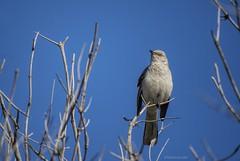 Mock Yeah, Ing Yeah, Bird Yeah, Yeah Yeah, Mockingbird now....