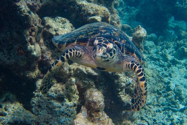 Sea Turtle / Tortue Marine