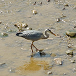 River Ribble Heron2
