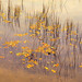 Reeds and Leaves on Water