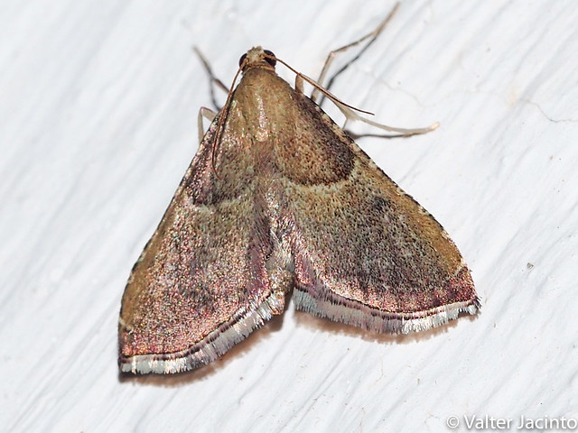 Borboleta Noturna // Moth (Endotricha flammealis)