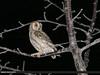 Eurasian Scops-owl (Otus scops) by gilgit2