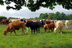28.5.17 2 Cattle at Westwood Pasture Beverley 28