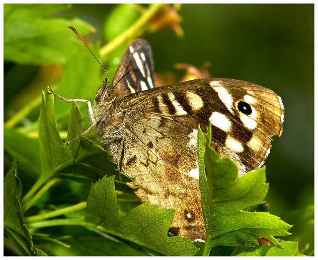 Specked Brown Butterfly.