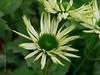2016 Sept 05 - white Echinacea #3