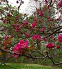 Cold Spring Crabapple Blossoms