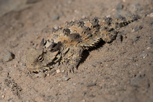 Coast Horned Lizard, Phrynosoma blainvillii Gray, 1839 | by Misenus1