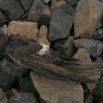 The well preserved but near-emaciated carcass of a House Swift was discovered in 2012 near the Deltaport container terminal, just 40 metres from the Pacific Ocean. Photo: Kimberly Walters.
