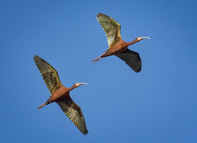 White-faced Ibis in flight - explore
