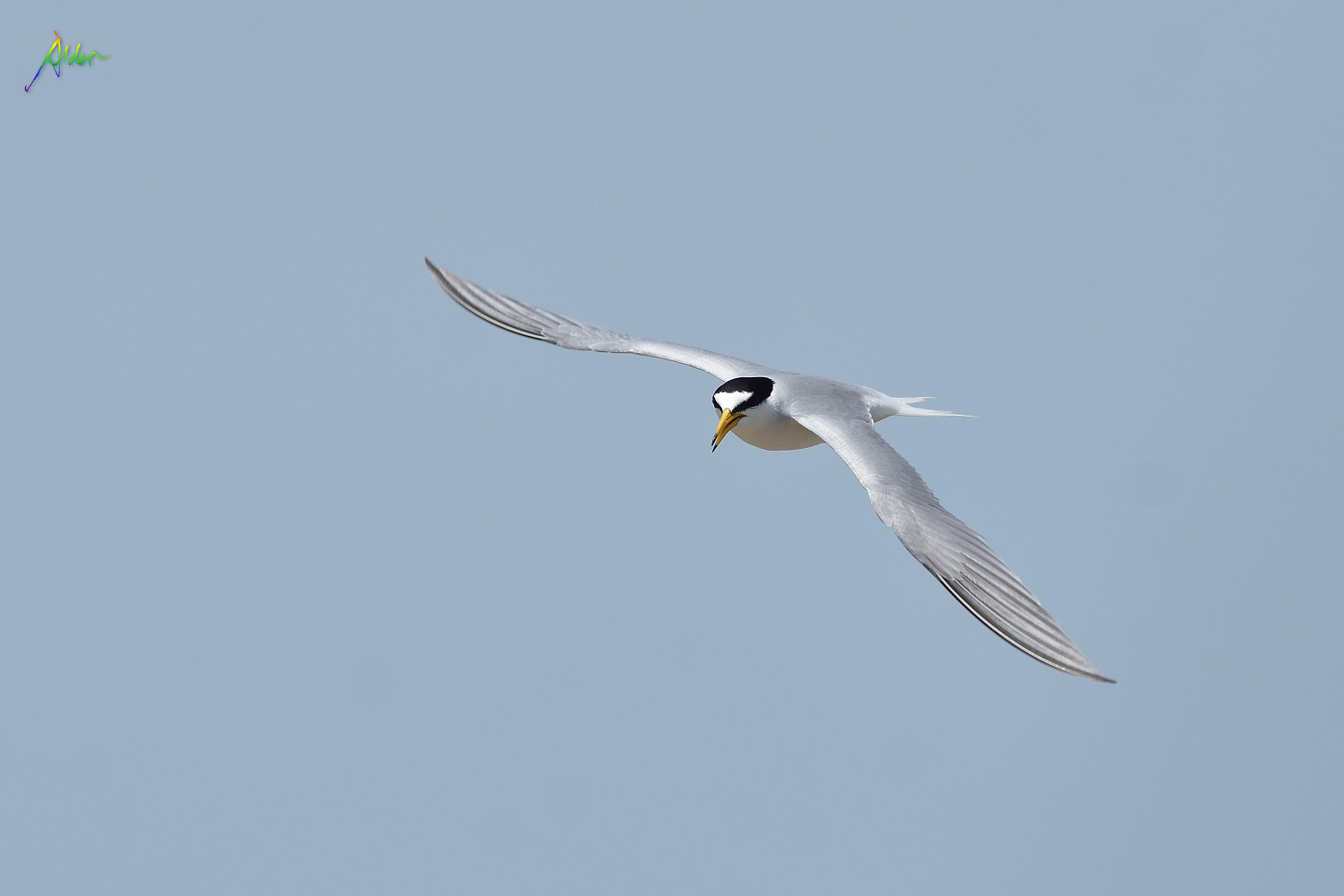Little_Tern_2687
