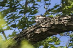 Common Nighthawk - Magee Marsh - Ohio FJ0A9757