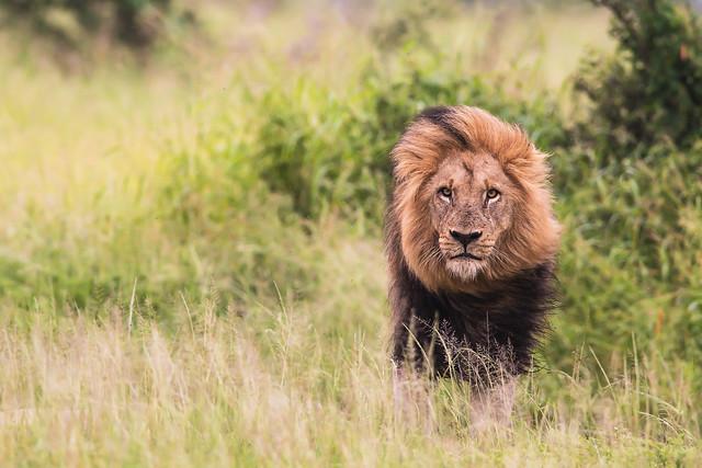 Beautiful maned Lion, Nikon D500, AF-S VR Nikkor 300mm f/2.8G IF-ED II