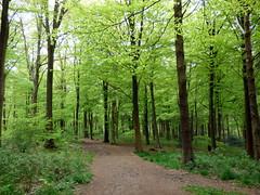 GOC Tring & Wendover Woods 036: Wendover Woods, Halton