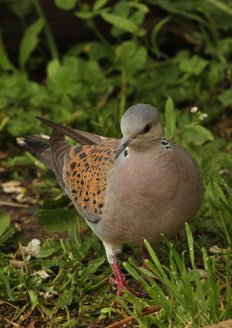 Streptopelia turtur-European Turtle Dove