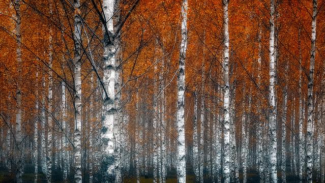 Red birches