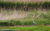 Grey Heron on the look out by Philip Pound Photography