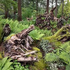 #fernstumpery ... LOVE IT! #fern #forest #stump #rootwad #PNW #botanicalgarden #federalway