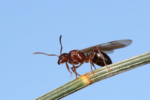 Ant (Papyrius sp?)