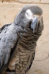 Israel-06759 - African Grey Parrot