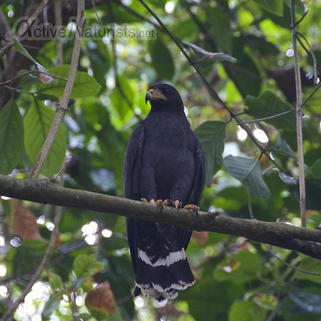 mangrove black hawk 0000 Corcovado, Osa peninsula, Costa Rica