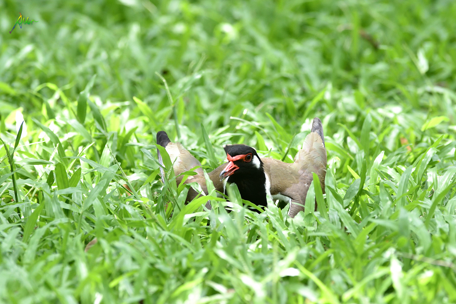 Red-wattled_Lapwing_1456