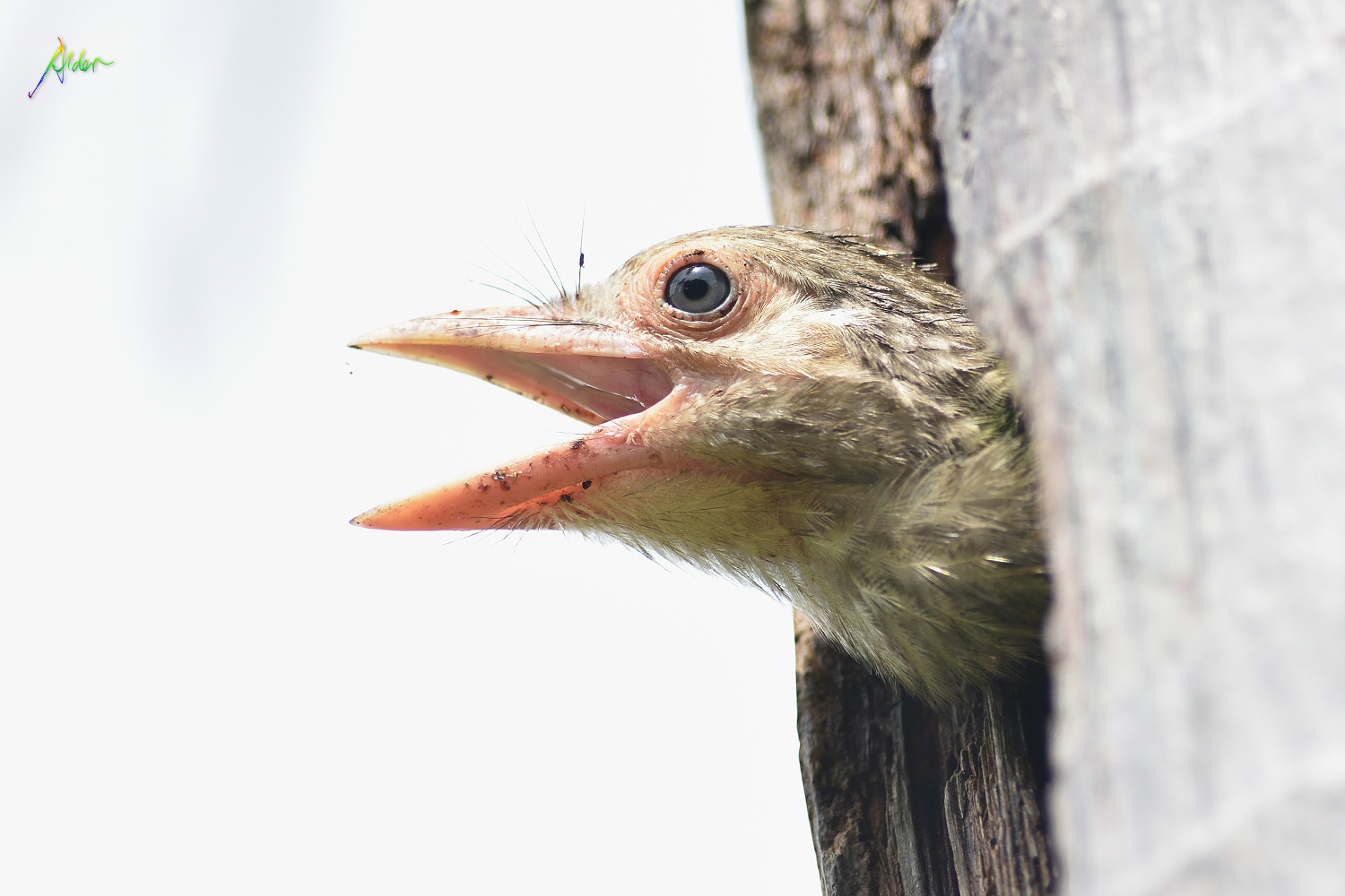 Lineated_Barbet_1622