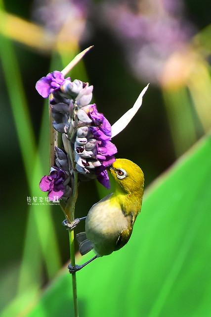 20170531 植物園-綠繡眼 (9), Nikon D5500, Sigma 10mm F2.8 EX DC HSM Fisheye