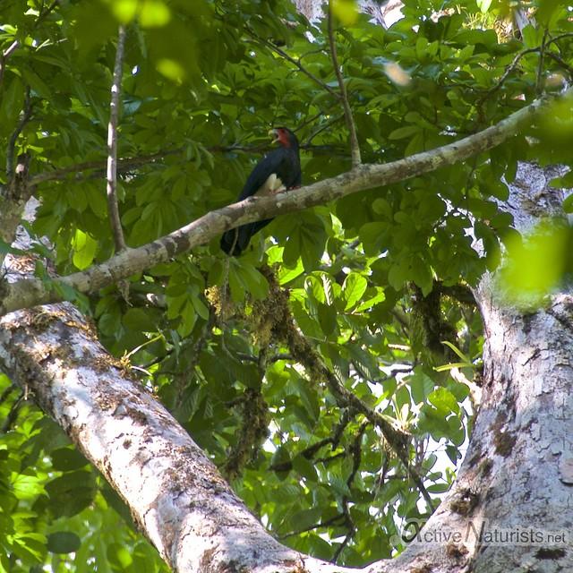 Mountain caracara 0000 Corcovado, Osa peninsula, Costa Rica