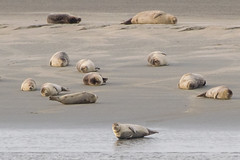 Common and Grey Seals